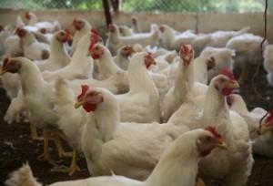 Fomentar el sector avícola en esta zona de Colombia es el objetivo de Fenavi y la Alcaldía de Mocoa. Foto: ICA.