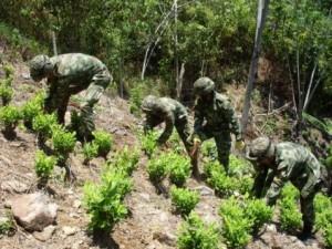 140109 cultivo coca