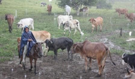 En medio de una fuerte lluvia como solo existe en la selva, Bella estuvo buscando una vaca perdida. No la encontró. Foto: Edna Guerrero