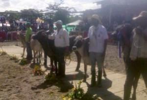 Feria de Orito 2014. Más de 50 bovinos de diversas razas fueron juzgados en la primera edición de la feria. Foto: Manuel Ortiz / Fedegán.