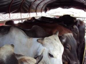 140508 ganado recuperado