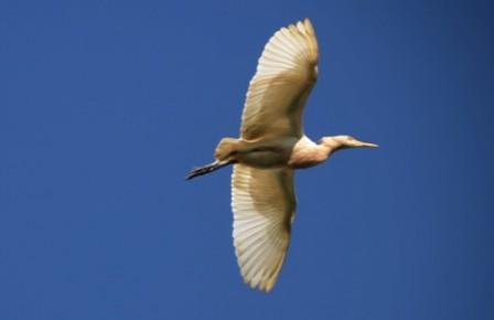 Garcita del Ganado (Bubulcus ibis). Foto: Campo Rosas.