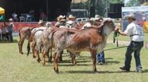 Expoasis 2014, el evento ganadero más importante del Putumayo