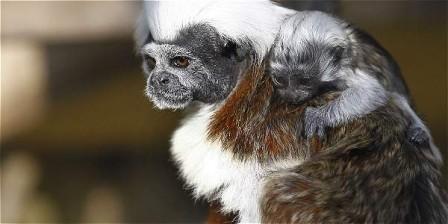 El tráfico de especies es tan impactante para los ecosistemas como la minería ilegal.