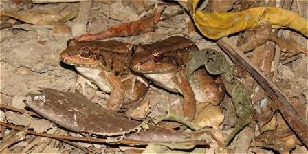 Foto: Archivo particular Con las cámaras trampa se tomaron al menos 50.000 imágenes. Aquí un 'Leptodactylus bolivianus', anuro que no solo habita en Colombia, también en Bolivia y Costa Rica.
