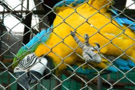 Delito de lesa animalidad Guacamayas son ofrecidas en las plazas de mercado desde $300.000. /Fotos: Theo González Castaño