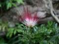 Instituto SINCHI registra nueva especie para la flora de la Amazonia Colombiana