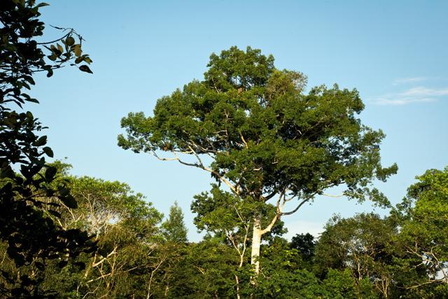 Foto: árbol Emergente Parque Nacional Natural Amacayacu, Leticia Amazonas. Instituto SINCHI/Iván Montero