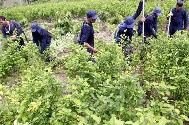 Cultivo de hoja de coca va en aumento en el país