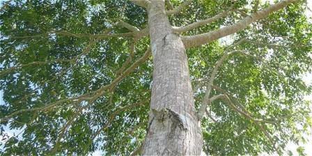 Foto: Archivo particular El cedro, del que quedan menos de 650 árboles en su estado natural, se ha utilizado en carpintería, mueblería fina, puertas, ventanas e instrumentos musicales.