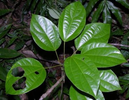 Abuta - http://www.plantasmedicinal.com/abuta/