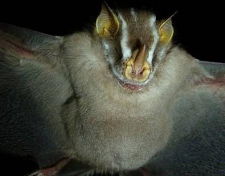 Colombia es el segundo país del planeta más rico en murciélagos, con alrededor de 200 especies, después de Indonesia. (Foto: UN)
