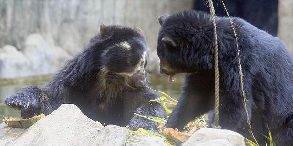Foto: Guillermo Gónzalez / EL TIEMPO El oso andino es corpulento, solitario y come principalmente vegetales.