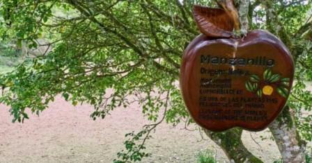 Arbol de Manzanillo (Comunmente llamado Caspi en el Putumayo)