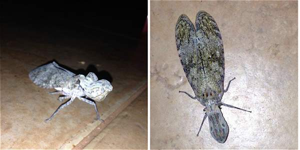Foto: Archivo particular La machaca es un insecto hemíptero, que se alimenta de la savia de las plantas.