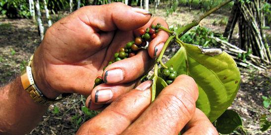 La pimienta del Putumayo es de excelente calidad, pero varios proyectos productivos alrededor de ella han fracasado.