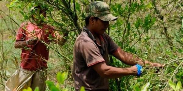 Foto: Cortesía: Coccam Colombia Mañana se lanzará en Popayán, oficialmente, la Coccam, que es la Coordinadora Nacional de Cultivadores de Coca, Amapola y Marihuana.