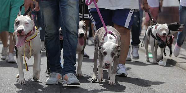 Foto: Santiago Saldarriaga / EL TIEMPO El nuevo Código de Policía designa 14 razas de perros potencialmente peligrosos, y sus propietarios deben cumplir estrictas normas.