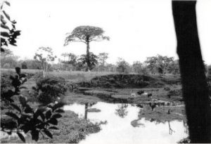 Ceiba que se erigía en la finca de los misioneros al otro lado de la quebrada Singuiyá en P Asís. Foto Archivo antiguo Vicariato Apostólico de Sibundoy.