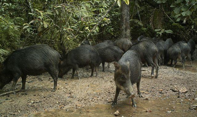 Foto 2: Los cafuches (Tayassu pecari), que forman grandes manadas de hasta 200 animales, corresponden a las especies más apetecidas por los cazadores dada la facilidad de su captura al encontrarse en grandes congregaciones.  Foto: Cámara Trampa