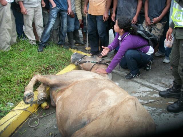 Accidente de caballo desbocado causa trancón en Mocoa