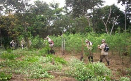 Desmantelada caleta y erradicadas 07 hectáreas de matas de coca.