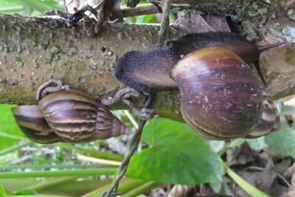 Alerta por Caracol Gigante Africano (Achatina fulica) en Putumayo