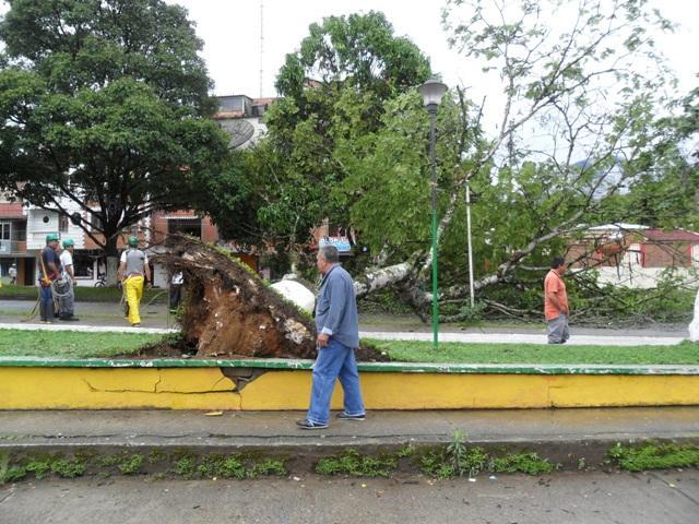 Susto por caída de árbol en Mocoa