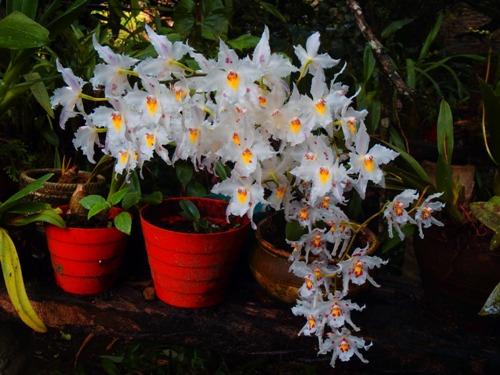 Colibrí Amarillo, esencias de orquídeas del Putumayo para el mundo