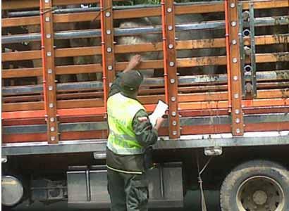 Incautan 134 semovientes y 70 porcinos en el Putumayo