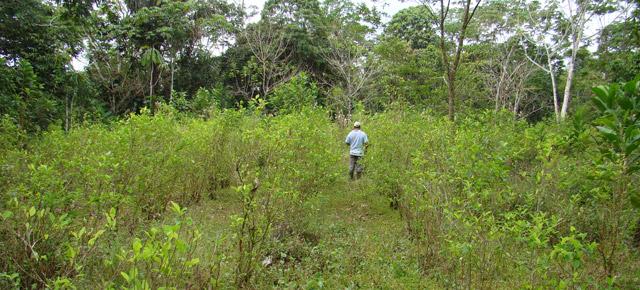 Cultivos de coca en Putumayo crecieron un 25% durante elaño 2013