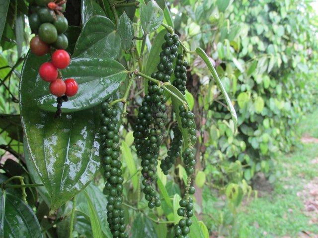 El cultivo de la pimienta se abre paso en el Valle del Guamuez