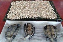 Recuperadas 15 tortugas y más de 14 mil huevos de especies protegidas de la Amazonia