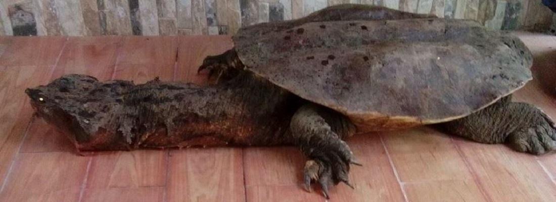 Liberada tortuga Matamata que fue entregada a CORPOAMAZONIA en Putumayo