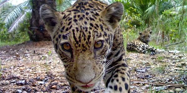 Espaldarazo para la supervivencia del jaguar