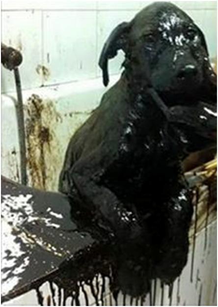 Efectos negativos para la salud de los animales en contacto con petróleo crudo
