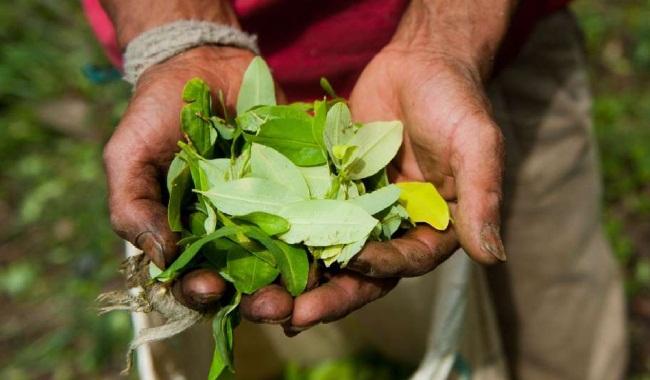 Mandato nacional de los cultivadores de coca, amapola y marihuana