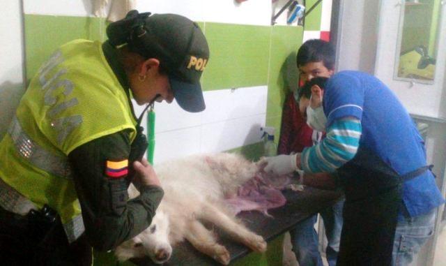 Policía en Sibundoy salva la vida a un canino atropellado y abandonado a su suerte