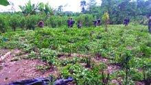 Erradicados cultivos de coca en el Putumayo