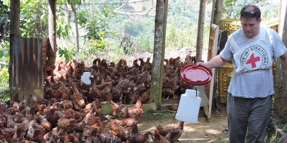Con gallinas, CICR busca reactivar economía de familias desplazadas