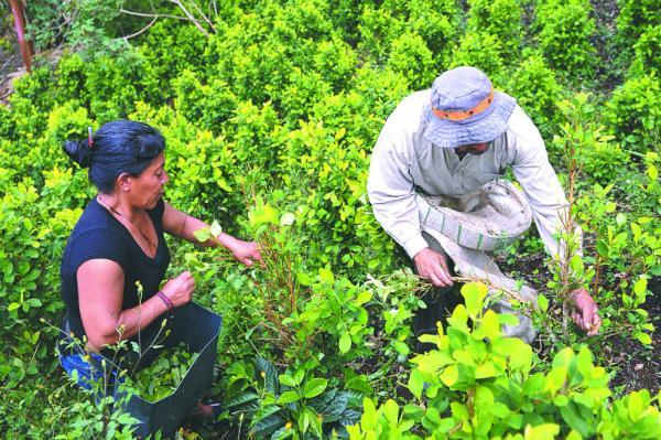 A un paso de que el gobierno invierta en 15 mil campesinos de Putumayo. Con ellos avanzará la sustitución de cultivos de coca.