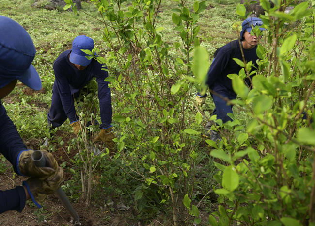 En 2017 serán erradicadas 50 mil hectáreas de hoja de coca en el país