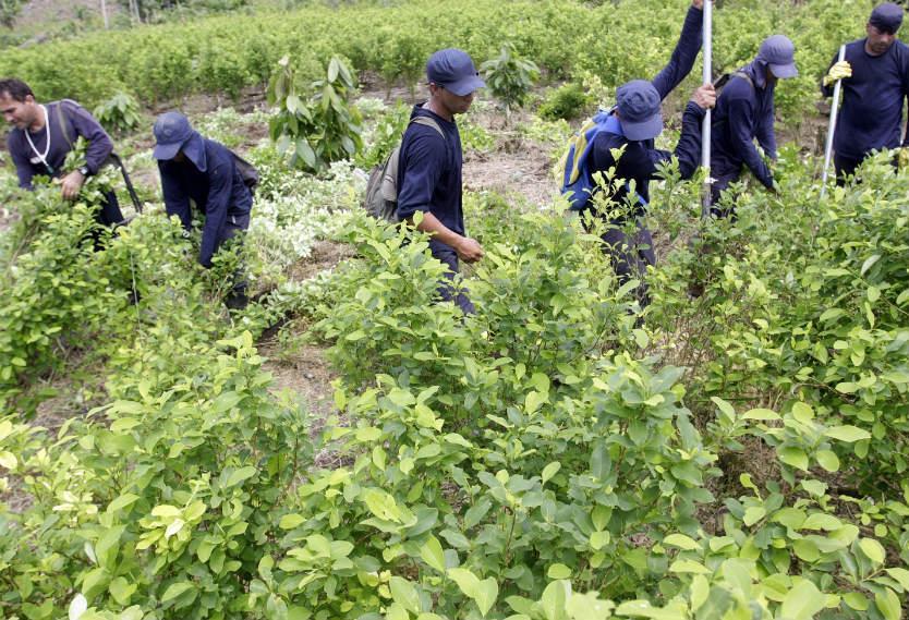 Líderes de sustitución de cultivos denuncian amenazas de muerte