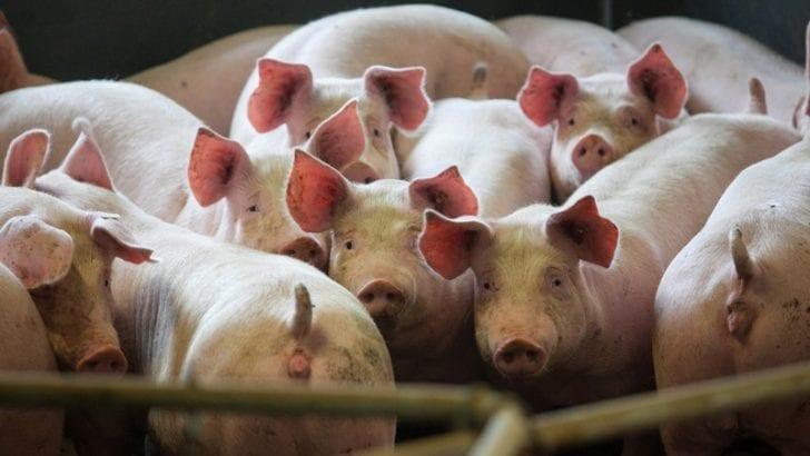 Así será la vacunación obligatoria de cerdos contra la peste