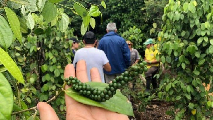 Se fortalece el cultivo de pimienta en Nueva Arabia (Putumayo)