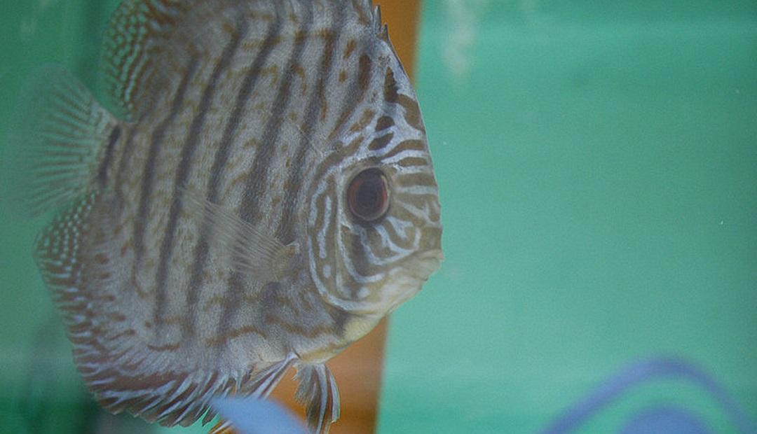Cr a de peces disco en ambientes controlados incrementa for Cria de peces ornamentales