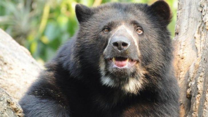 El megaplán para salvar el oso andino de su extinción