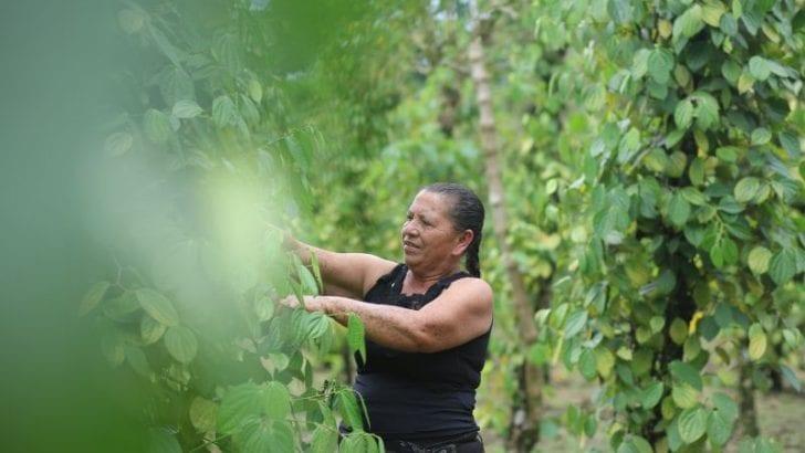La pimienta con aroma a paz que se cultiva en las entrañas de la Hormiga Putumayo