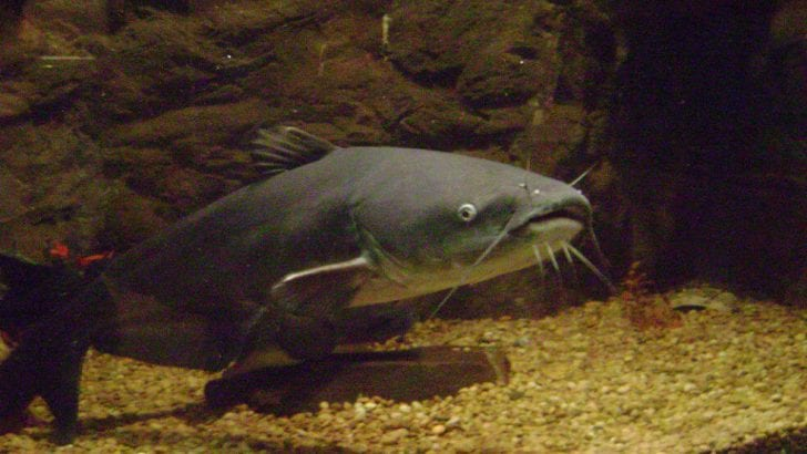 Los peces amazónicos enfrentan «nuevas amenazas»