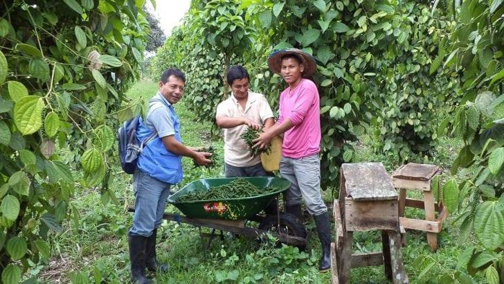 Con el apoyo de la Unidad de Restitución de Tierras (URT), avanza el proceso de certificación de los pimenteros putumayenses